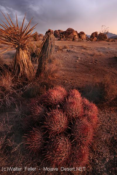 Photo of cottontop cactus in the Mojave Desert