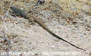 Reptile Mojave Desert Glossary Of Terms And Definitions
