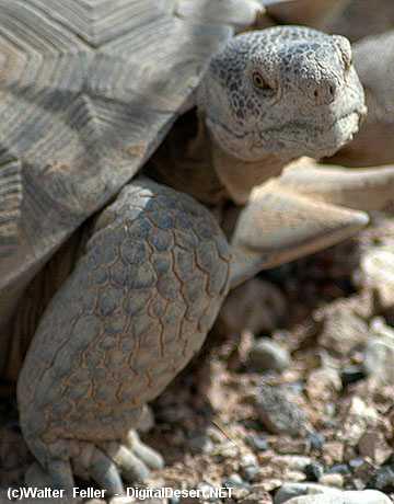 Desert Tortoise Facts | Desert Tortoise Habitat & Diet