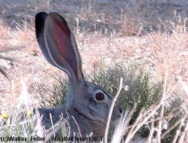 Animal Adaptations In The Mojave Desert