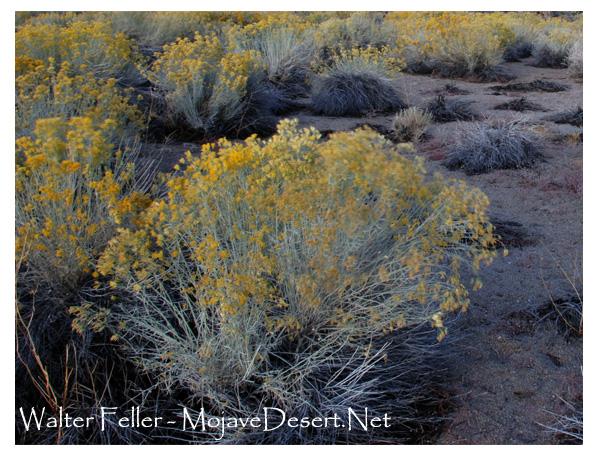rabbitbrush desert plants