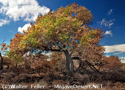 Fremont S Cottonwood Tree