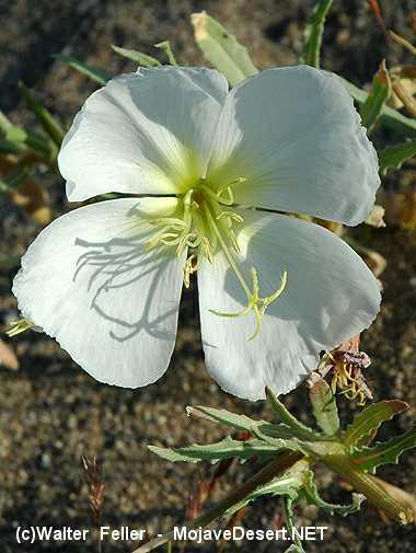 Dune Evening Primrose Desert Wildflower Photo